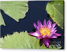 Purple Waterlilly Acrylic Print