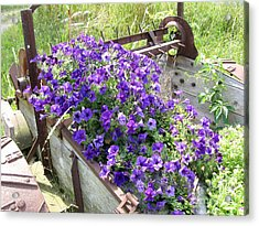 Purple Wave Petunias In Rusty Horse Drawn Spreader Acrylic Print