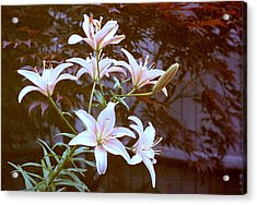 Purple/white Lily Acrylic Print