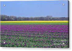 Purple With Golden Lining. Fields Of Tulips Series Acrylic Print by Ausra Huntington nee Paulauskaite
