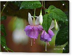 Purple With White Fuschias Acrylic Print by Marsha Schorer