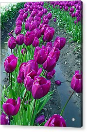 Purplepassion Acrylic Print