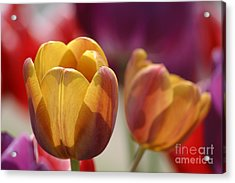 Purpleyellowtulips7016 Acrylic Print by Gary Gingrich Galleries
