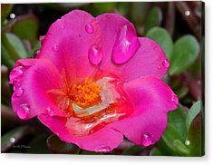 Purslane Flower In The Rain Acrylic Print by Sandi OReilly