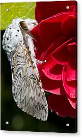Puss Moth On Red Camellia Acrylic Print by Mr Bennett Kent