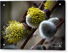 Pussy Willow 5 Acrylic Print