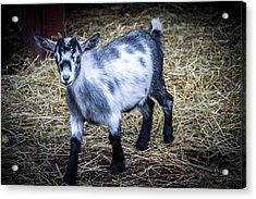 Pygmy Goat Acrylic Print