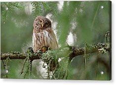 Pygmy Owl Acrylic Print