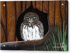 Pygmy Owl Acrylic Print by Jennifer Lake