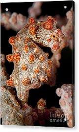 Pygmy Seahorse On Sea Fan, Lembeh Acrylic Print by Steve Jones