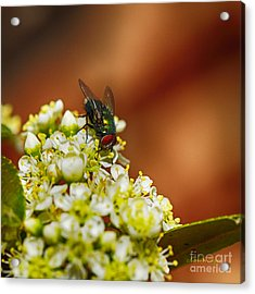 Pyracantha And Fly Acrylic Print