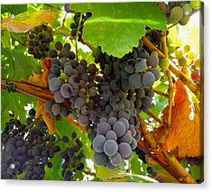 Pyrenees Winery Grapes Acrylic Print by Michele Avanti