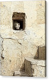 Qatari Alley Cat Acrylic Print