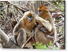 Qinling Mountains, China, Golden Monkey Acrylic Print by Alice Garland