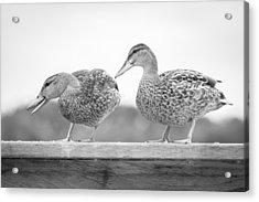 Quack Quack Acrylic Print