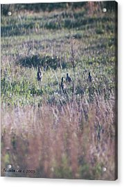 Acrylic Print featuring the photograph Quail Family On The Run by Belinda Lee