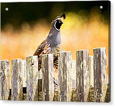 Quail Lookout Acrylic Print