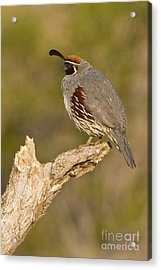 Quail On A Stick Acrylic Print by Bryan Keil