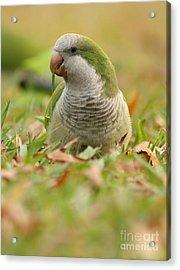 Quaker Parrot #3 Acrylic Print