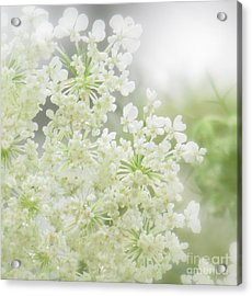 Queen  Anne Lace Acrylic Print by France Laliberte