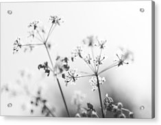 Acrylic Print featuring the photograph Queen Anne's Lace by David Isaacson
