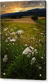 Queen Anne's Lace Acrylic Print by Debra and Dave Vanderlaan