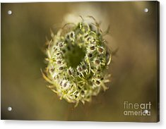 Queen Anne's Lace Going To Seed Acrylic Print by Charmian Vistaunet