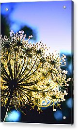 Queen Anne's Lace II Acrylic Print by Diane Merkle