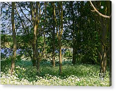 Queen Anne's Lace Makes A White Carpet In The Woods Near Rutland Acrylic Print