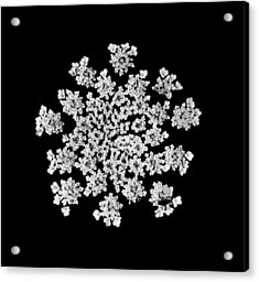 'queen Anne's Snowflake' Acrylic Print