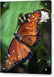 Queen Butterfly Acrylic Print by Adam Romanowicz