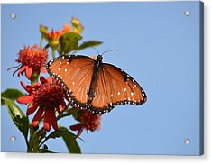 Acrylic Print featuring the photograph Queen Butterfly by Debra Martz