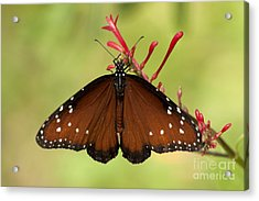 Queen Butterfly Acrylic Print by Meg Rousher