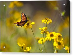 Queen Butterfly On Coreopsis  Acrylic Print by Mark Weaver