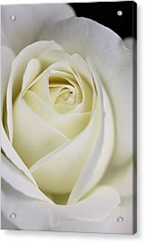 Queen Ivory Rose Flower 2 Acrylic Print by Jennie Marie Schell