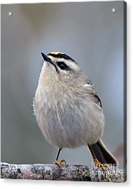 Acrylic Print featuring the photograph Queen Of The Kinglets by Stephen Flint