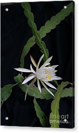 Acrylic Print featuring the photograph Queen Of The Night by Dodie Ulery