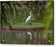 Queen Victoria Water Lily Pad With Little Egret Dthb1618 Acrylic Print
