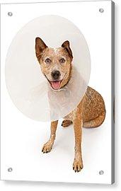 Queensland Heeler Dog Wearing A Cone Acrylic Print by Susan Schmitz
