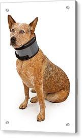 Queensland Heeler Dog Wearing A Neck Brace Acrylic Print by Susan Schmitz
