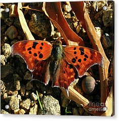 Acrylic Print featuring the photograph Question Mark Butterfly by Donna Brown