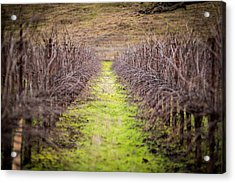 Quiet Vineyard Acrylic Print by Mike Lee