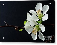 Quince Branch 2012 Acrylic Print by Art Barker