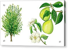 Quince Tree Acrylic Print by Anonymous