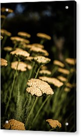 Acrylic Print featuring the photograph Quivering Yarrow by Dave Garner