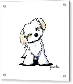Quizzical Havanese Acrylic Print by Kim Niles