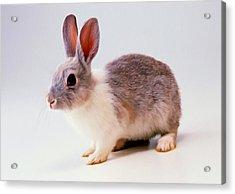 Rabbit 2 Acrylic Print by Lanjee Chee