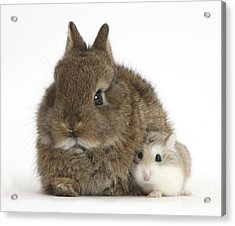 Rabbit And Roborovski Hamster Acrylic Print by Mark Taylor