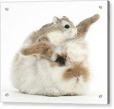 Rabbit With Roboroviski Hamster Acrylic Print