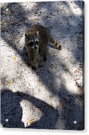 Acrylic Print featuring the photograph Raccoon 0311 by Chris Mercer